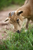 Portrait of a african goat. Eating fresh grass Royalty Free Stock Photos