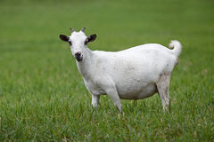 Portrait of a african goat Stock Image