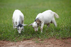 Portrait of african goats Stock Photo