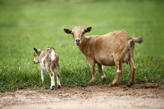 Portrait of african goats Stock Images