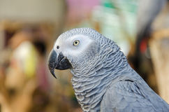 Portrait of African Gray Parrot Stock Image