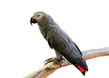 Portrait of African Gray Parrot isolate on white background Stock Photos
