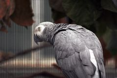 Gray parrot sitting on the tree.