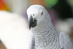 Portrait of African grey parrot Stock Photo