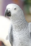 Portrait of African grey parrot Royalty Free Stock Photography