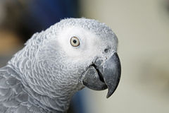 Portrait of African grey parrot Royalty Free Stock Image