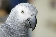 Portrait of African grey parrot Stock Images