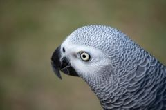 Portrait of an African grey which is a good mimic and talker. Close up portrait of an African grey which is a good mimic and talker royalty free stock photography