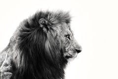 Portrait of an African Lion. Big Arican Lion in black and white from Masai Mara, Kenya royalty free stock photos