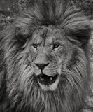 Portrait of african Lion. Black & White portrait of african Lion in Belgrade zoo... With some males exceeding 250 kg (550 lb) in weight, it is the second-largest stock image