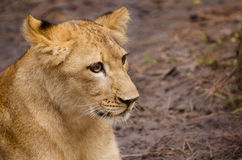 Portrait of African lion cub Royalty Free Stock Photo