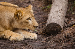 Portrait of African lion cub play stalking. (Panthera leo Royalty Free Stock Photo