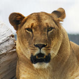 A Portrait of an African Lion Female Stock Photo