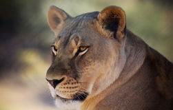 A Portrait of an African Lion Female Royalty Free Stock Photo