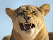 A Portrait of an African Lion Female Snarling Royalty Free Stock Image