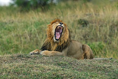 Portrait of African lion Stock Images