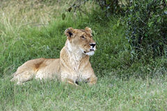 Portrait of African lion Stock Photo