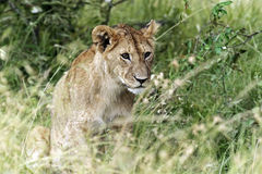 Portrait of African lion Royalty Free Stock Images