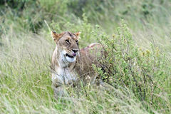 Portrait of African lion Stock Photography