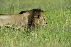Portrait of African lion Royalty Free Stock Image