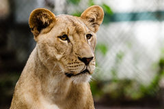 Portrait of African lioness lion. (Panthera leo stock photos