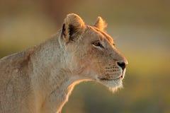 African lioness portrait - Kalahari desert stock images