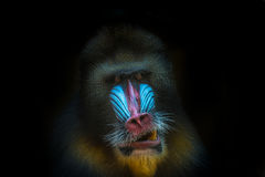 Portrait of African mandrill at black background Stock Images
