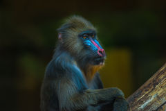 Portrait of African mandrill in the open resort Stock Photo