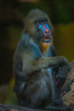 Portrait of African mandrill in the open resort Royalty Free Stock Photography