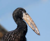 Portrait of african openbill stork Royalty Free Stock Photo