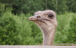 Portrait of an African ostrich Stock Photo