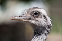 Portrait of an african ostrich close up Royalty Free Stock Photography