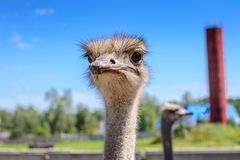 Portrait of an African ostrich closeup on sky background.  Royalty Free Stock Images