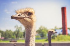 Portrait of an African ostrich closeup on sky background.  Stock Photo