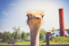 Portrait of an African ostrich closeup on sky background.  Royalty Free Stock Photos