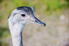 Portrait of African ostrich (Struthio camelus) Stock Photo