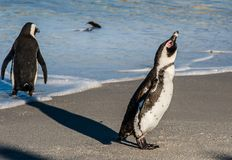 Portrait of African penguin shake off on the sandy beach in sunlight Stock Photo