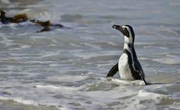 Portrait of African penguin (spheniscus demersus) Royalty Free Stock Images