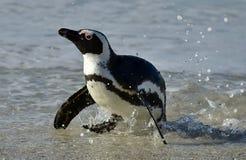 Portrait of African penguin (spheniscus demersus) Royalty Free Stock Image