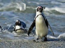 Portrait of African penguin (spheniscus demersus) Royalty Free Stock Photography
