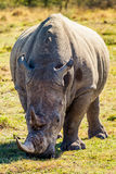Portrait of an African Rhinoceros Royalty Free Stock Photo