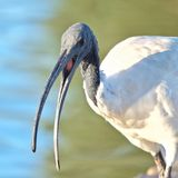 Portrait of an African Sacred Ibis royalty free stock image