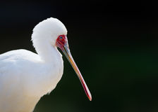 Portrait of African Spoonbill Stock Photo