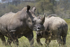 Portrait of african squared-lipped or white rhinoceros Stock Photography