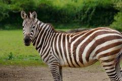 African striped coats zebra Stock Image