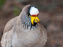 Portrait African Wattled Lapwing Royalty Free Stock Images