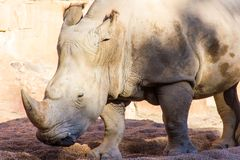 Portrait of an african white rhinoceros, Ceratotherium simum stock photography