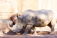 Portrait of an african white rhinoceros, Ceratotherium simum, in a rocky landscape royalty free stock images