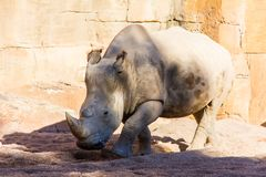 Portrait of an african white rhinoceros, Ceratotherium simum, in a rocky landscape royalty free stock photos