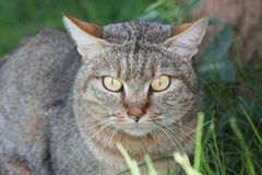 Portrait of an African Wilcat Stock Photos